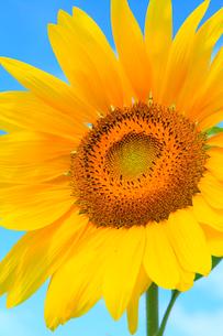 ヒマワリの花の写真素材 [FYI02090290]