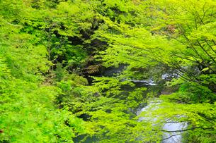 山中温泉 新緑の鶴仙峡の写真素材 [FYI02090310]