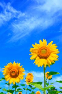 ヒマワリの花と青空の写真素材 [FYI02090317]