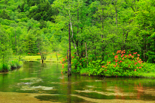 緑の上高地 田代池とツツジの写真素材 [FYI02090362]