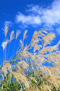 ススキと青空の写真素材 [FYI02090398]