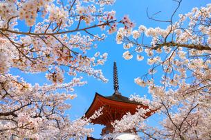 厳島神社 サクラと多宝塔の写真素材 [FYI02090420]