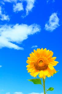 ヒマワリの花と青空の写真素材 [FYI02090439]