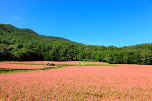 赤ソバの里 赤ソバの花の写真素材 [FYI02090451]