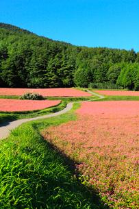 赤ソバの里 赤ソバの花と道の写真素材 [FYI02090456]