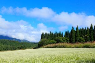 戸隠高原 ソバの花の写真素材 [FYI02090463]