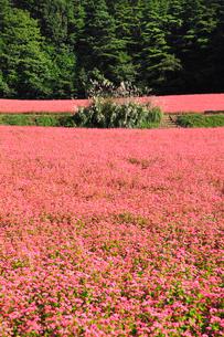 赤ソバの里 赤ソバの花の写真素材 [FYI02090470]