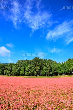 赤ソバの里 赤ソバの花と青空の写真素材 [FYI02090471]