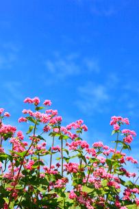 赤ソバの里 赤ソバの花と青空の写真素材 [FYI02090472]