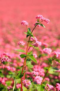 赤ソバの里 赤ソバの花の写真素材 [FYI02090488]
