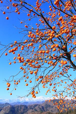 柿と北アルプスの写真素材 [FYI02090519]