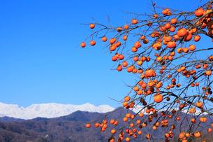 柿と北アルプスの写真素材 [FYI02090529]
