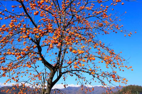 柿と北アルプスの写真素材 [FYI02090530]