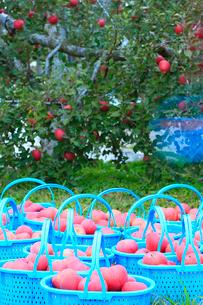 りんごの実りと収穫の写真素材 [FYI02090536]