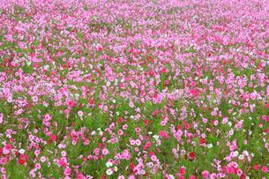 コスモスの花畑の写真素材 [FYI02090546]