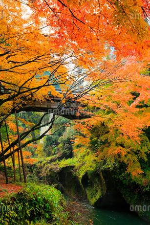 山中温泉 紅葉のこおろぎ橋の写真素材 [FYI02090583]