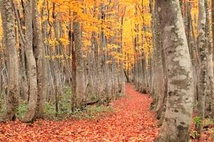 八甲田 ブナ林の紅葉と道に落ち葉の写真素材 [FYI02090596]
