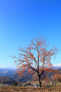 柿と集落に北アルプスの写真素材 [FYI02090631]