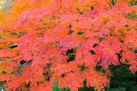 山中温泉 カエデの紅葉の写真素材 [FYI02090638]