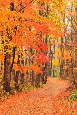 紅葉の雑木林と道の写真素材 [FYI02090708]