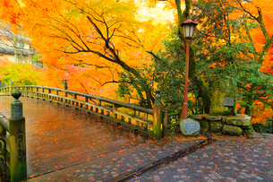 山中温泉 紅葉のこおろぎ橋の写真素材 [FYI02090769]