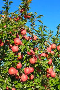 りんごの実りの写真素材 [FYI02090773]