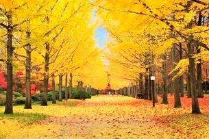 イチョウ並木道の紅葉と落ち葉の写真素材 [FYI02090776]