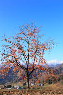 柿と集落に北アルプスの写真素材 [FYI02090815]
