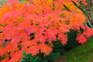 山中温泉 カエデの紅葉の写真素材 [FYI02090830]