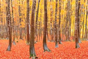 美人林 ブナ林の紅葉と落ち葉の写真素材 [FYI02090858]