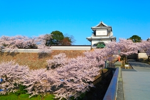 金沢城・石川門のサクラの写真素材 [FYI02090904]