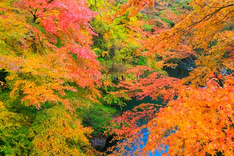 山中温泉 紅葉の鶴仙峡の写真素材 [FYI02090918]