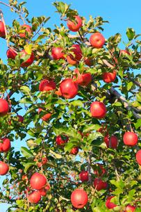 りんごの実りの写真素材 [FYI02090990]