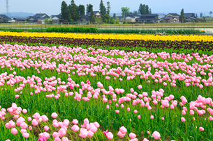 砺波平野 チューリップ花畑と散居村の写真素材 [FYI02091051]