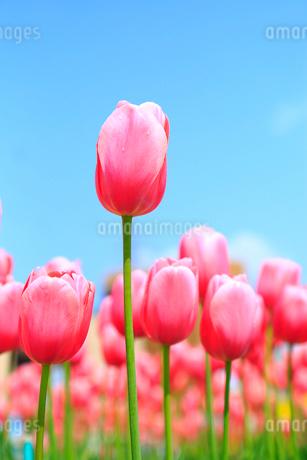 砺波チューリップ公園 チューリップの花の写真素材 [FYI02091079]