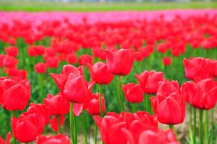 砺波平野 チューリップの花畑の写真素材 [FYI02091255]