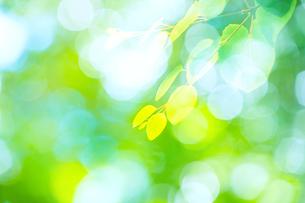 カツラの新緑アップとぼけた森の写真素材 [FYI02091365]