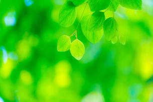 カツラの新緑アップの写真素材 [FYI02091395]