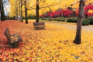 イチョウ並木の落ち葉紅葉とベンチの写真素材 [FYI02091410]