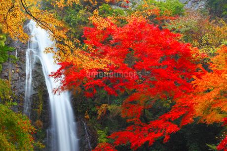 箕面大滝とカエデの紅葉の写真素材 [FYI02091457]