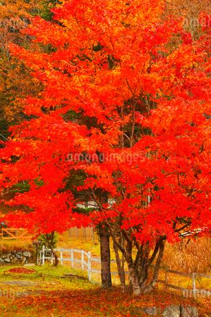 カエデの紅葉の写真素材 [FYI02091486]