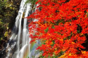 荒滝とカエデの紅葉に虹の写真素材 [FYI02091512]