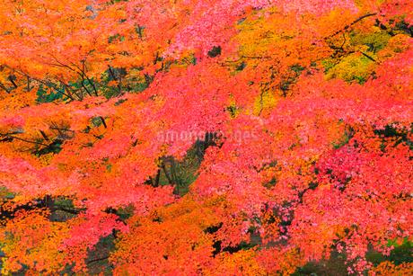 山中温泉 カエデの紅葉の写真素材 [FYI02091538]