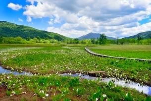 尾瀬ヶ原 ミズバショウの湿原と流れに木道の写真素材 [FYI02091544]