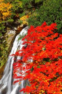 荒滝とカエデの紅葉の写真素材 [FYI02091563]