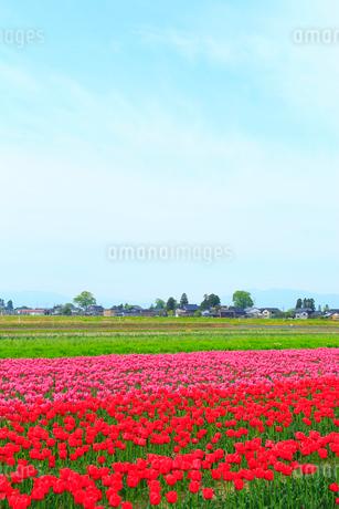 砺波平野 チューリップ花畑と散居村の写真素材 [FYI02091600]