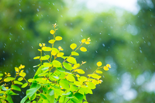 カツラの新緑アップとぼけた森の写真素材 [FYI02091641]