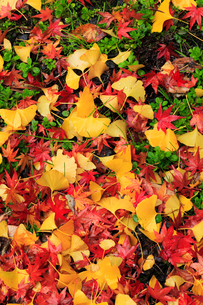 カエデとイチョウの散り紅葉の写真素材 [FYI02091828]