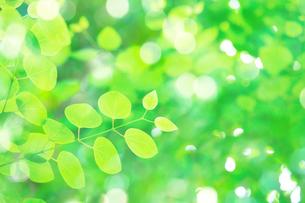カツラの新緑アップの写真素材 [FYI02091842]