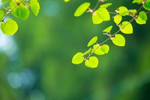 新緑のカツラの写真素材 [FYI02091859]